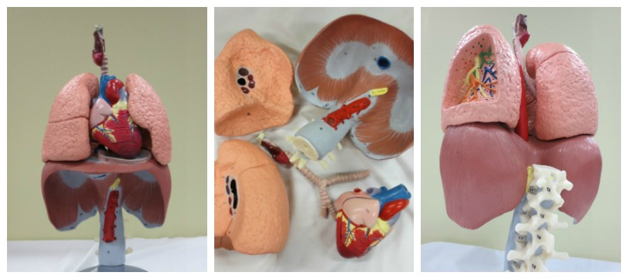 Respiratory Organs (6 pieces, life-size)